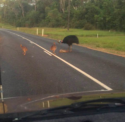 Cassowary road death