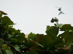 Zodiac moths mating