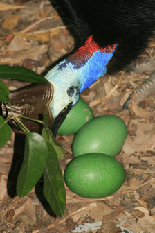 male cassowary with eggs