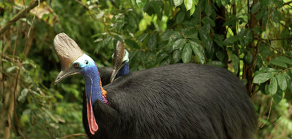 ission Beach Cassowaries