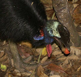 Cassowary eating toxic native cashew