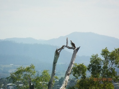 Osprey mourn the loss of their chicks