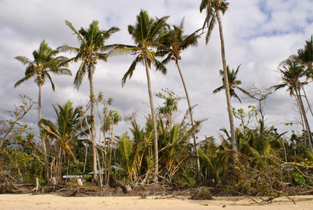 Critically endangered  littoral rainforest replaced by coconut monocultre