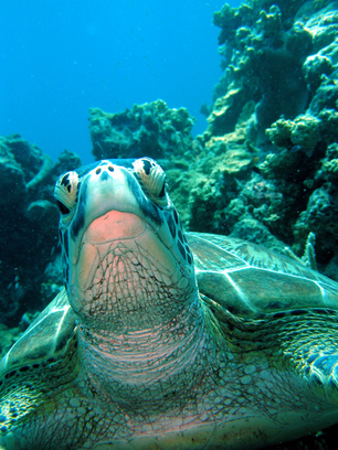 HELLO: Martin Cunningham filmed this close-up encounter with a green turtle while diving on the Reef.