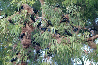 Metalic Starling colony
